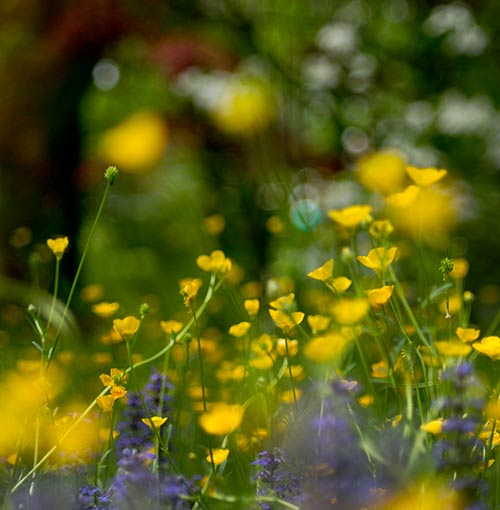 meadow buttercup and ajuga flowers