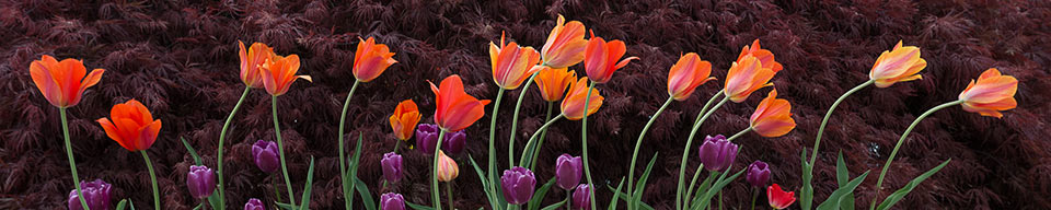 tulipsSampleCropping_1304_5402_960px