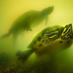 Two turtles in an aquarium.